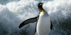 A pingvinek királya